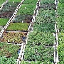SOPRANATURE PLUG PLANTS